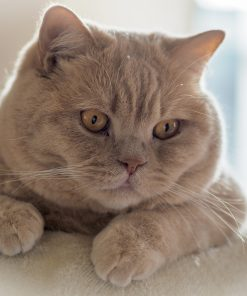 Cats_British_Shorthair_Glance_Snout_Paws-scaled