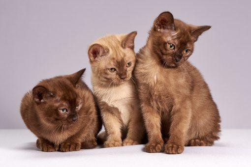 Cats British Shorthair Three 3 scaled