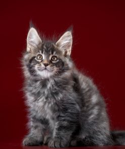 Cats_Maine_Coon_Kittens_Glance_Colored_background-scaled