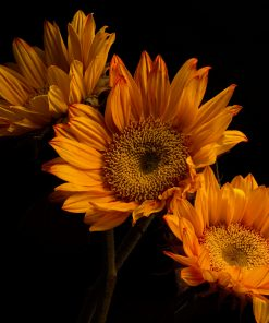flower black sunflower nature