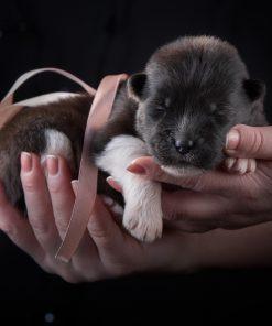 dark Dog American Akita Puppy Hands scaled