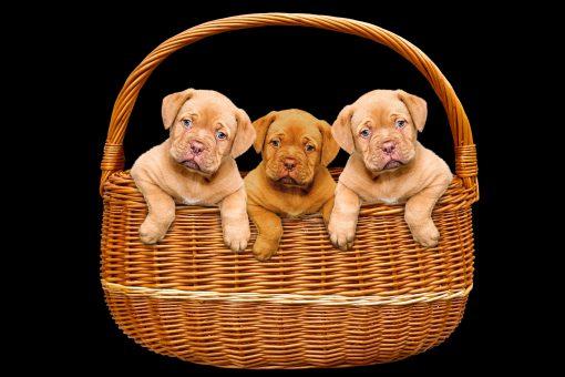 Dogs Black background Wicker basket Puppy Three scaled